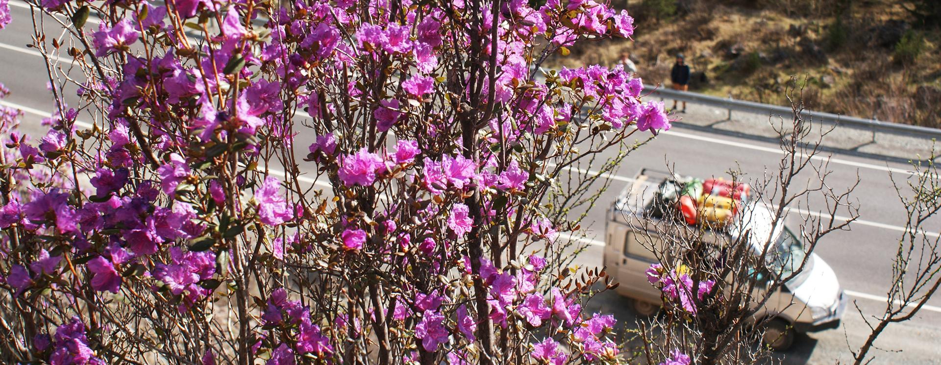 Цветение алтайской сакуры
